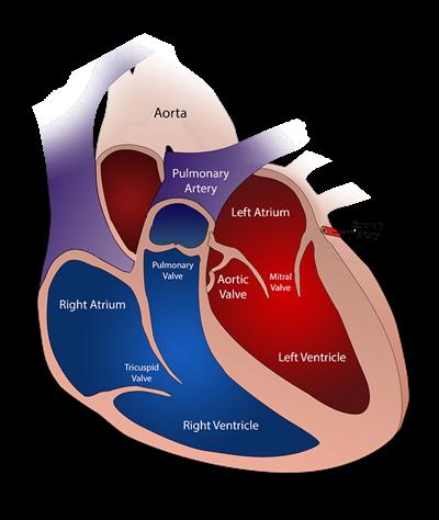 Атеросклероз аорты сердца - что это такое? Симптомы и лечение